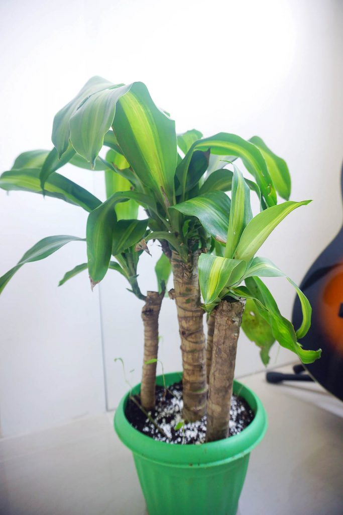 You'll get lucky with a fortune plant because it's great at purifying the air.