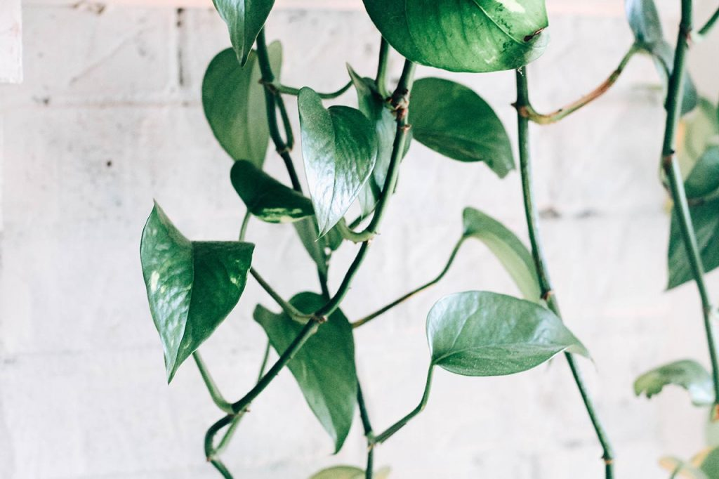 As far as indoor plants go, pothos is the easiest one to take care of.