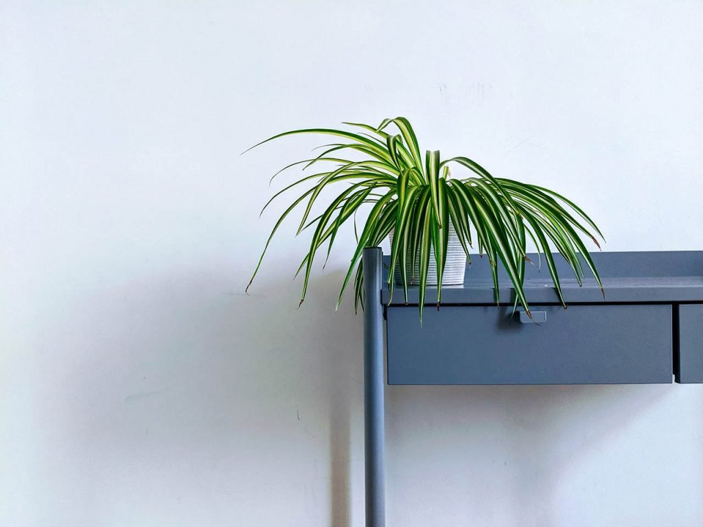 The spider plant is great for lazy gardeners.